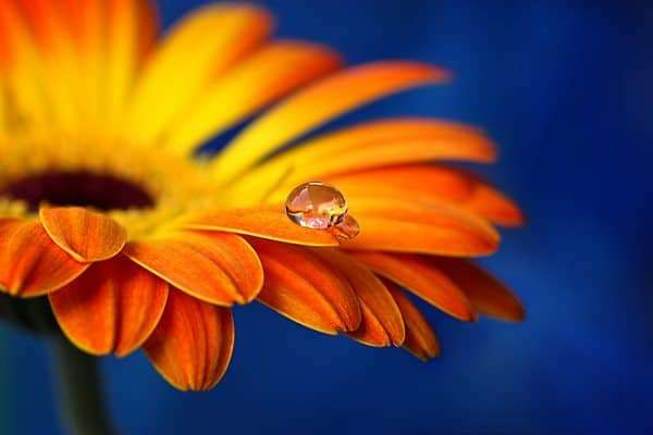 drop of water on a flower
