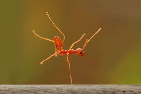 ant big orange
