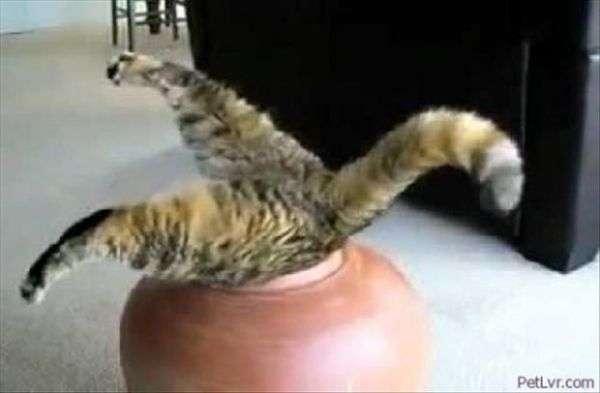 ops gatto
