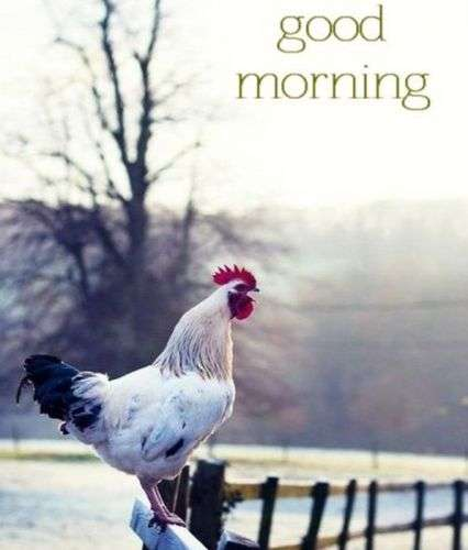 cock of the morning