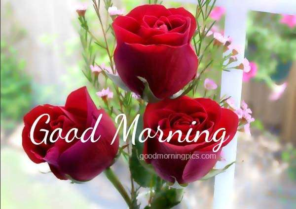 Beautiful red rose with good morning quote